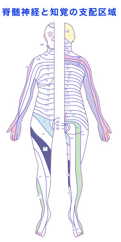 脊髄神経の図 図を拡大する ▲ページの先頭へ▲ ●大脳基底核 〔だいのうきていかく〕 ... 二